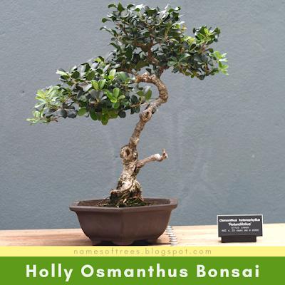 Holly Osmanthus Bonsai