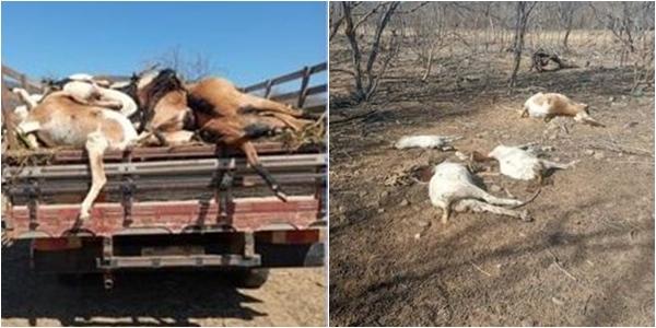 Bahia: Criminosos jogam ração envenenada em propriedade e matam 25 animais