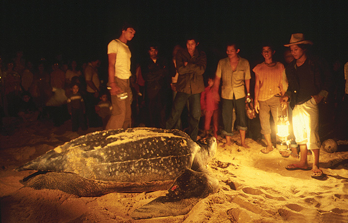 image of giant leathery turtle on Rantau Abang beach.
