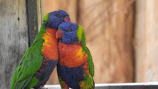 Bird song, love birds