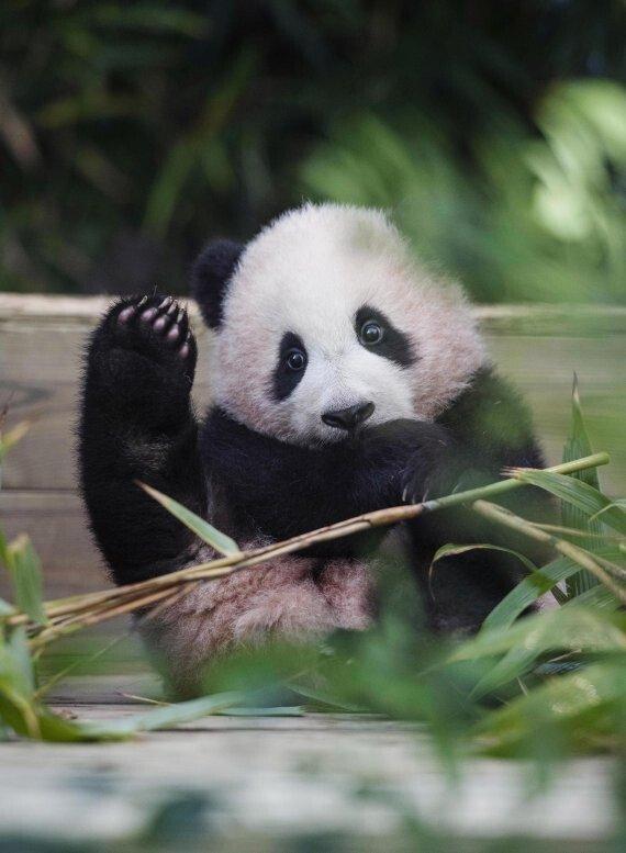 한국에서 태어난 팬더