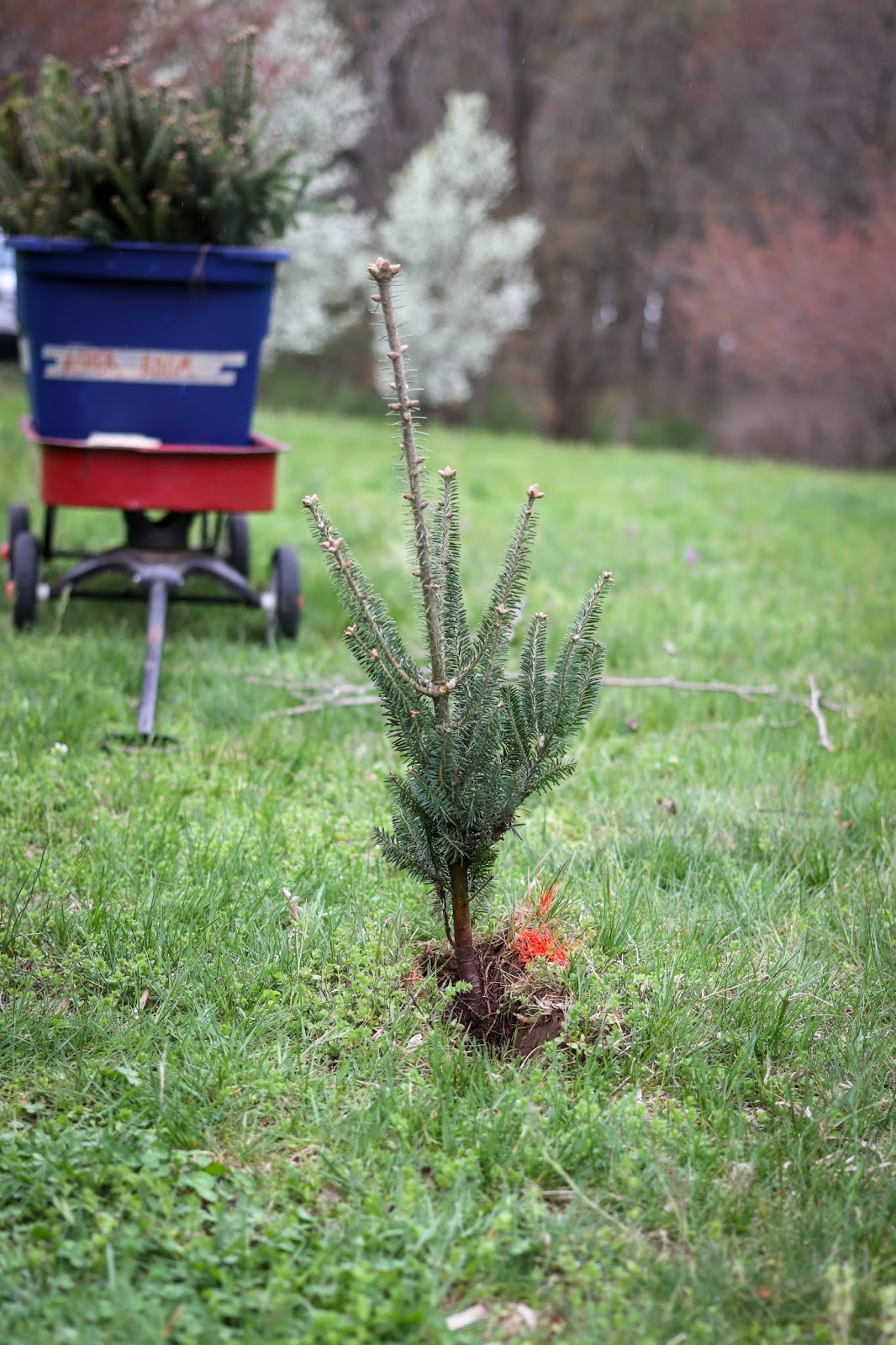 How-to-plant-Christmas-trees