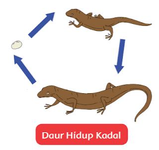 Daur Hidup Kadal www.simplenews.me