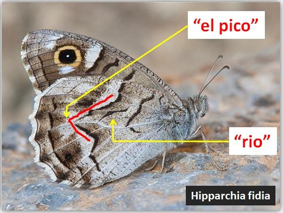 El pico de Hipparchia fidia