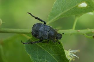 Scarabée trifascié - Hoplia trifasciata