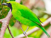 Download Gratis Suara Burung Cucak Ijo Mp3 Gacor Masteran