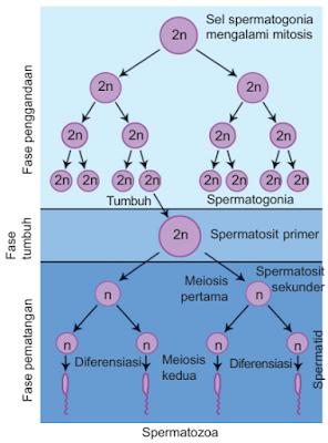 Tahapan Proses Spermatogenesis Pembentukan Sel Sperma