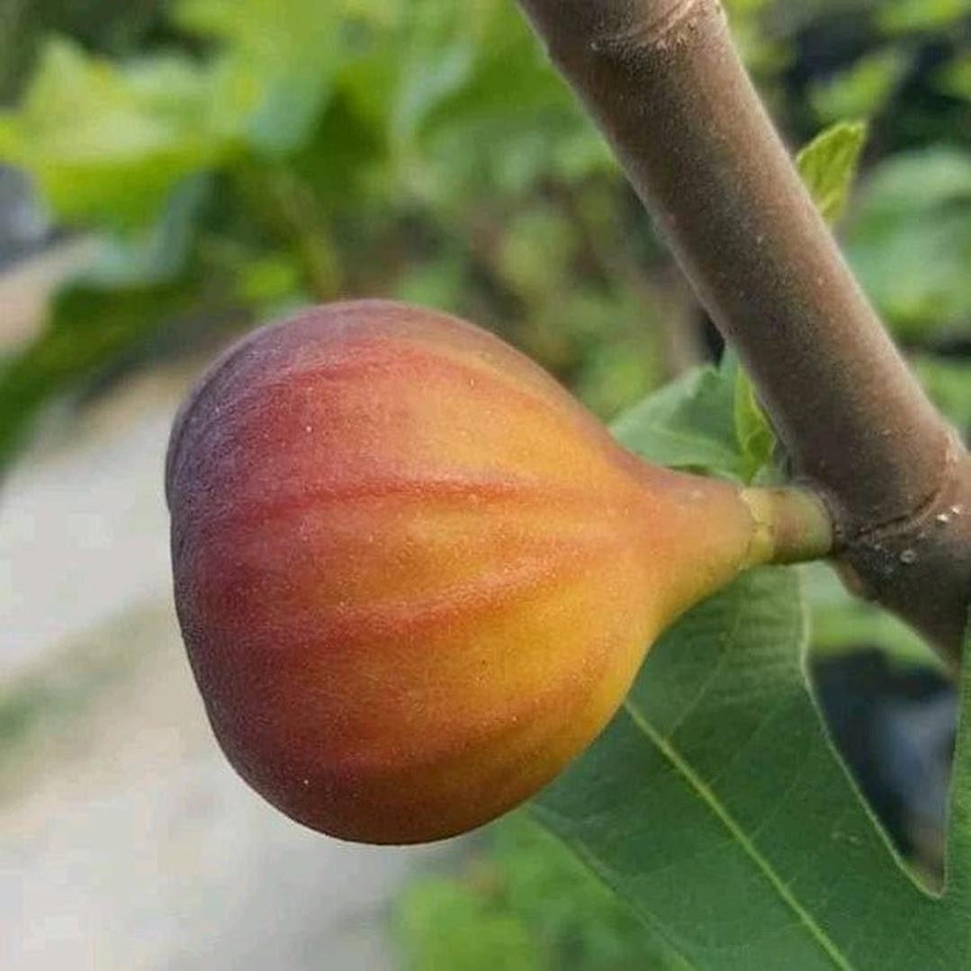 bibit buah tin Red lebanes Papua