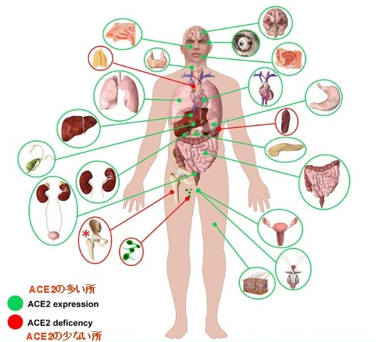 Fig.3  Schematic representation of ACE2 expression in human organs. CC BY PMID: 33275999