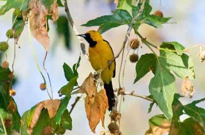 Photo of Hooded Oriole in sycamore tree