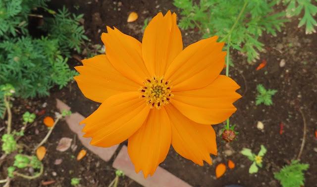 大きく花開いたキバナコスモス