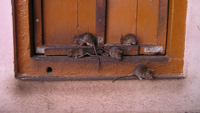 Di Tengah Pandemi Corona dan Lockdown, Tikus-tikus Berkeliaran di Jalanan Kota dengan Santai