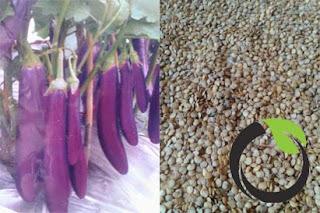 Membuat benih terong dengan sederhana