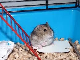 Peluang Usaha Ternak Hamster Untuk Pemula