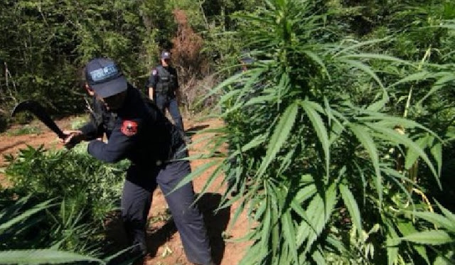 Vau i Dejës police director Paulin Çupi has been fired because of cannabis plantation found in his zone