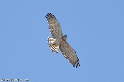 Àguila marcenca (Circaetus gallicus)