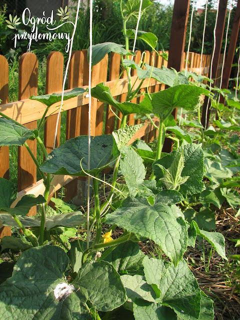 Projekt warzywnik - zbiór plonu i wysiew kolejnych warzyw