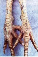 kaki ayam bangkok asli katuranggan