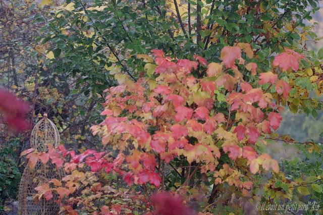 viburnum opulus couleurs d'automne