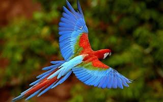 Burung Paruh Bengkok Makaw Skarlet