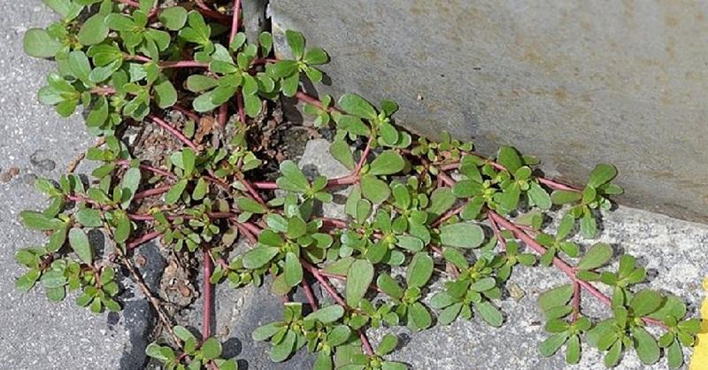 Se você notar uma planta em seu quintal, não se apresse para arrancá-la pelas raízes!