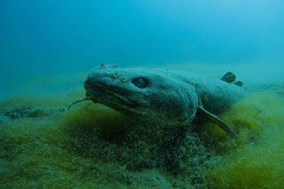 6 Ikan Predator Air Tawar Yang Termasuk Nokturnal