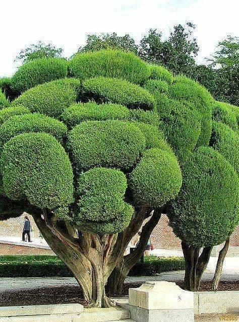 Embora pareça um brócolis, não é. É muito bom o jeito que você tem que melhorar visualmente se você o admirar de longe
