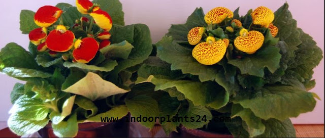 Calceolaria x Herbeohybrida Scrophulariaceae Flipper Flower Plant