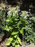 Flowering tobacco - Wellington Botanic Garden, New Zealand