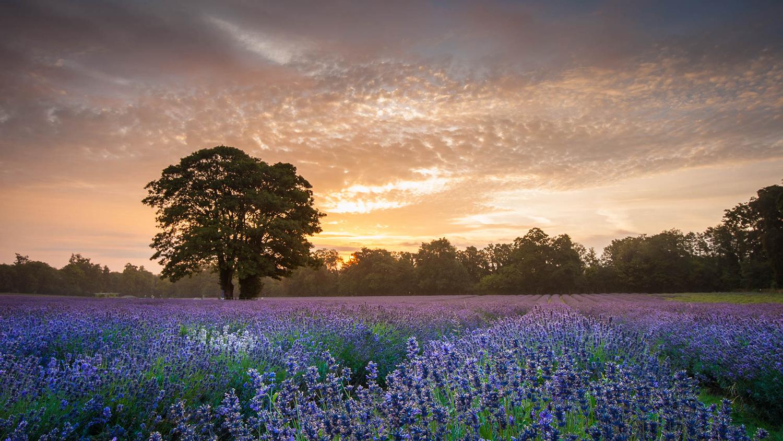 Komposisi Foto Landscape kebun bunga Lavender indah