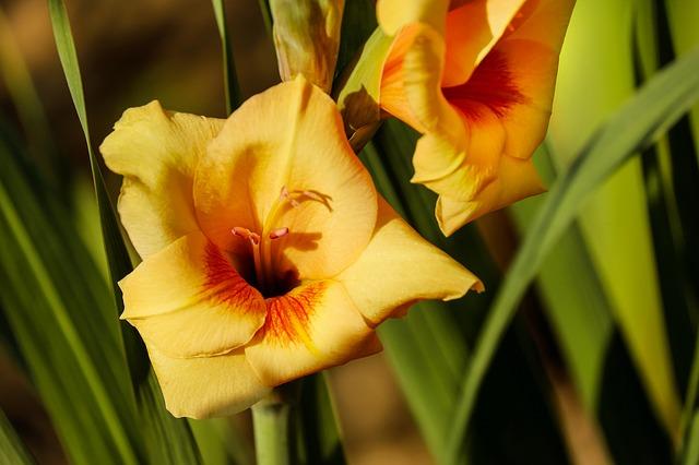 hoa lay ơn vàng