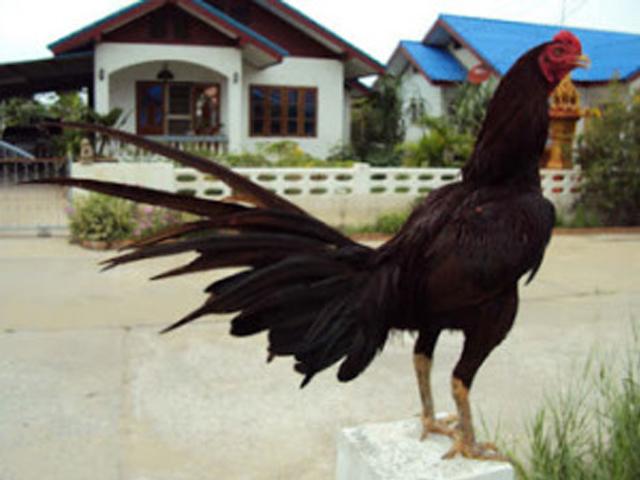 Ayam bangkok suro manten atau suro penganten tiga