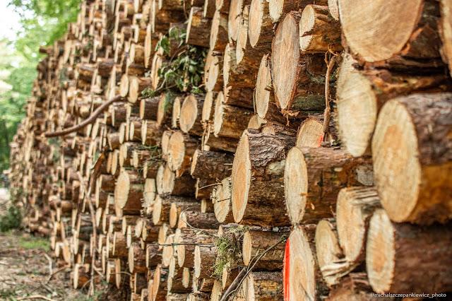 kłody drzew