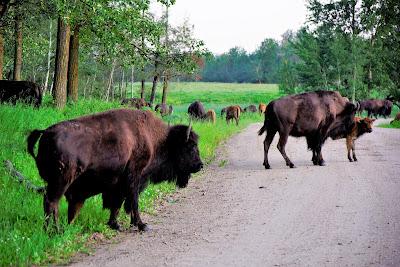 Bison loop, Elk Island National Park