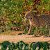 Mato Grosso| Biólogo flagra filhote de onça-pintada carregando latinha de cerveja no Pantanal: 'triste e revoltante'