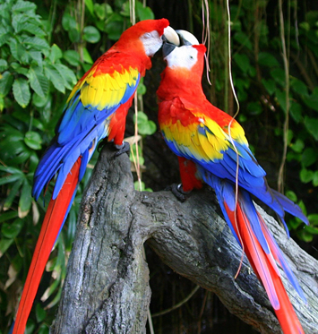 PARROTS IN INDIA: MACAW