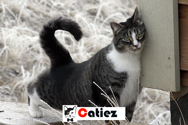 american shorthair cat - all you  want  to know about american shorthair cat