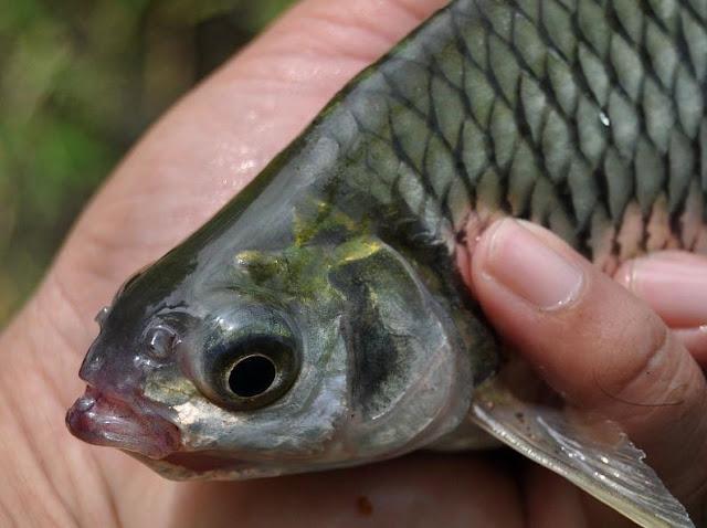 Umpan Ikan Tawes Alami yang Ampuh jitu keruh jernih rawa sungai danau telaga berarus deras