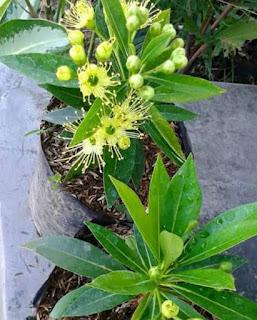 Jual Tanaman Hias Santos Lemon