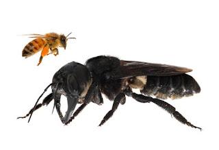 Penemuan,Lebah,Terbesar Didunia, Berlokasi, Di Indonesia, lebah raksasa, informasi lebah, lebah madu, pakar lebah, penelitian lebah, penelitian, lebah indonesia, lebah raksasa, lebah aneh, news, berita, serangga, dilindungi