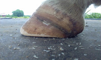 PSSM horse hoof injury