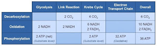 Jumlah ATP yang dihasilkan setiap tahapan respirasi
