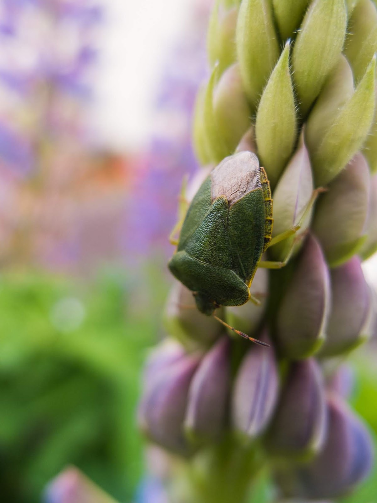 A macro of a Green Stink Bug on a stalk of a light purple Lupine flower.
