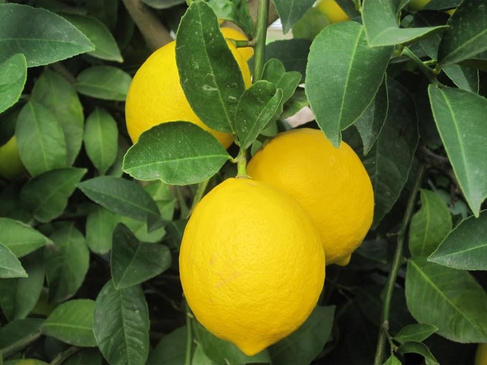 Amefurashi Bibit Benih Seed Buah Jeruk Lemon Import Lampung