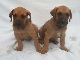 Potřeby pro zvířata  Jak a čím krmit štěně brazilské fily - 5 ... 024ebfcb33