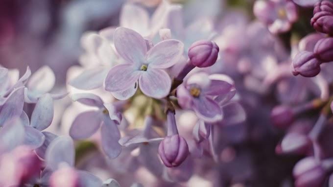 Papel De Parede Flores Lilás Francesa