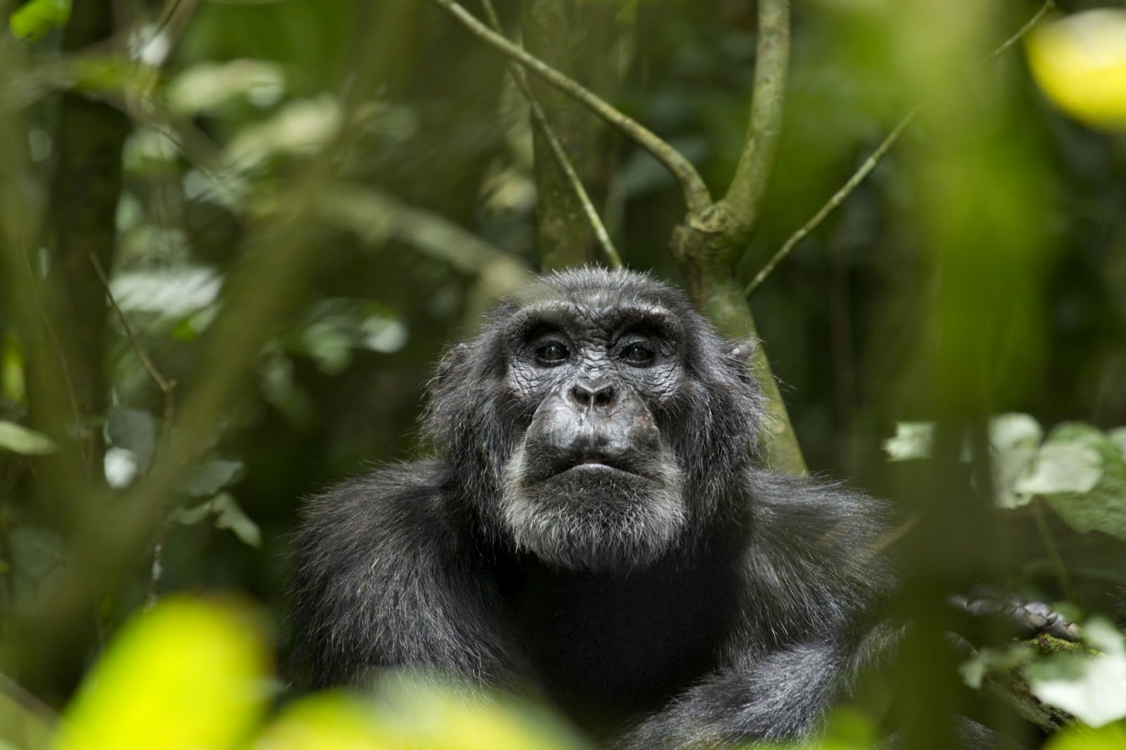 the cultural barrier between chimpanzees and And what does this teach us about human nature and culture  to a genetic  basis— but the techniques they use show subtle differences  looking at  chimpanzee culture challenges us to view behaviour through the blind.