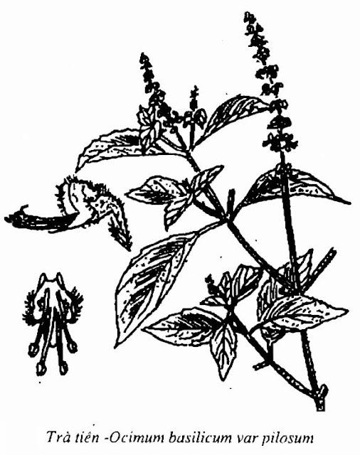 Hình vẽ Trà Tiên -Ocimum basilicum var pilosum - Nguyên liệu làm thuốc Chữa Cảm Sốt