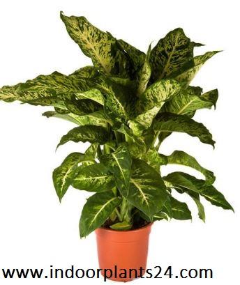 Dieffenbachia Maculata Dumb Cane INDOOR house PLANT