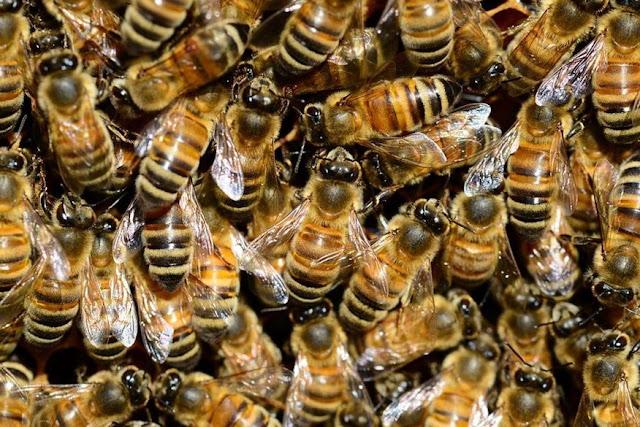 Idoso de 91 anos de idade morre após ser atacado por enxame de abelhas em Queimadas; mais nove pessoas foram hospitalizadas